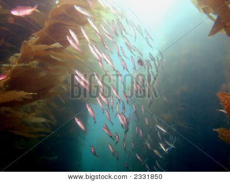 School Of Pacific Sardines