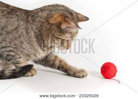 Playful Cat With Clew