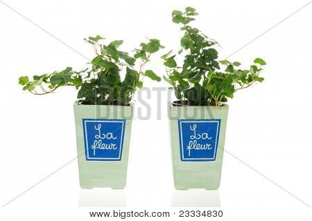 Two Hedera plants in French pots isolated over white background