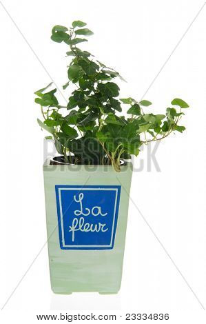 Hedera plant in French flower pot isolated over white background