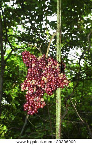 Wild grapes.