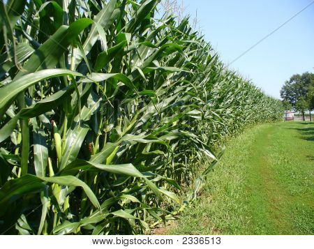 Cornfield Side View