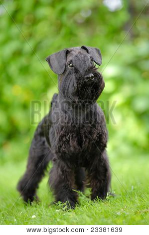 Black schnauzer standing on the green background