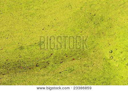 Duckweeds As A Texture