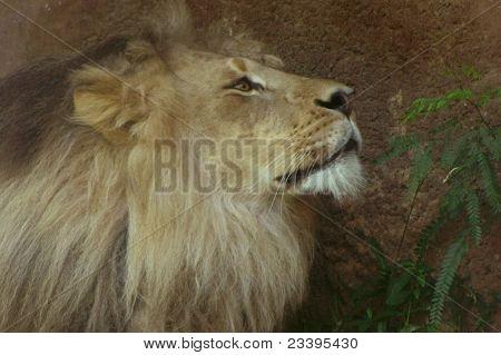 Dreamy lion