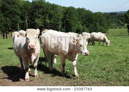 Charolais Cows In Mountain Pasture