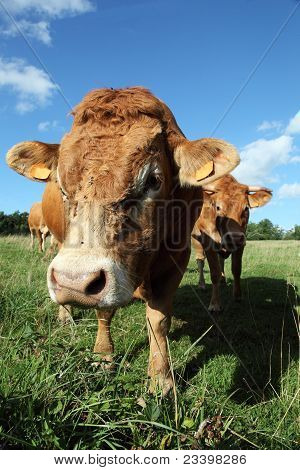 Inquisitive Limousin Bull