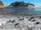 stock photo of marblehead  - Ducks on ice frost ocean shore - JPG