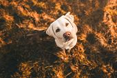 Happy Cute Little Labrador Retriever Dog Puppy Standing In The Sunshine On Field During Sunset poster