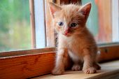 Funny Kitten. Ginger Kitten On Window. Long Haired Red Orange Kitten. Sweet Adorable Kitten On Natur poster