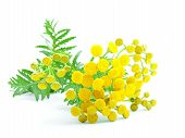 picture of tansy  - flowers of tansy isolated on a white background - JPG