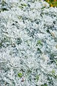 Thuja During The First Frost. Frosted, White. poster
