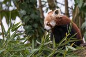 Red Panda Eats On A Tree, The Red Panda (ailurus Fulgens), Also Called The Lesser Panda, The Red Bea poster