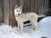 The Siberian Husky. A Young Beautiful Dog - With  Multi-colored Eyes On The Chain. poster