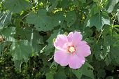 stock photo of rose sharon  - Pink blooming rose of sharon in garden - JPG