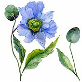 Beautiful Blue Poppy Flower With Green Leaves. Set - Large Meconopsis Flower And Stem With A Bud Iso poster