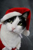 image of christmas hat  - A cat wearing a red Santa suit - JPG