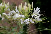 Beautiful White Petals On Large White Flower Set Atop Heavy Stalk Of Plant In Landscaped Garden. poster