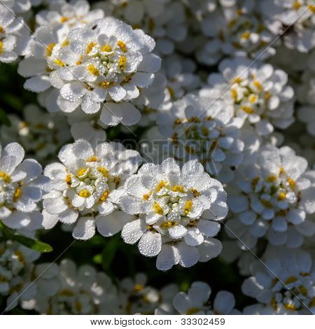 Candytuft (iberis) In Drops Of Early Dew.