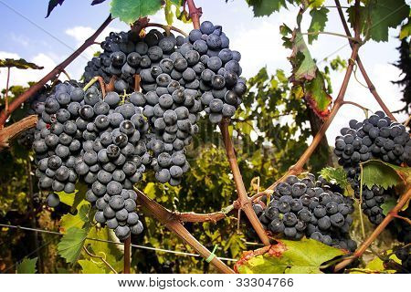 Large Cluster Of Ripe Sangiovese Grapes