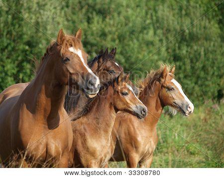 Welsh Pony Herd