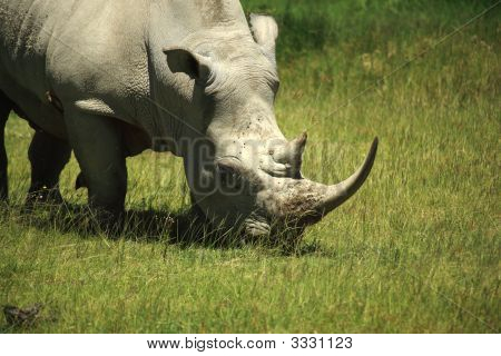 Rhino Covered In Flies