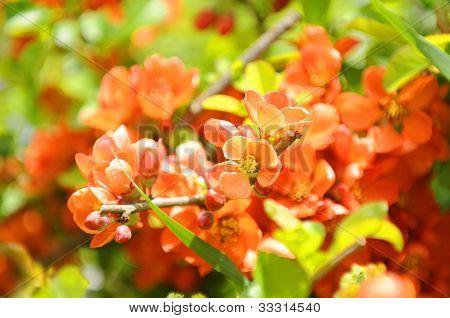 Japanese Quince (Chaenomeles) Shrub In Flower