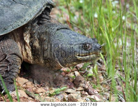 Snapping Turtle, Chelydra Serpentina