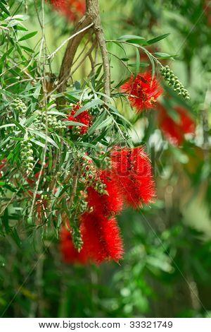 Red Bottlebrush Flowers. Callistemon