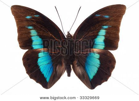 Morpho achilles butterfly isolated on white