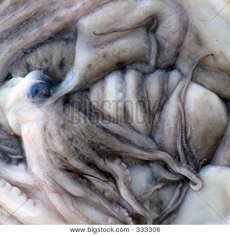 Musky Octopus