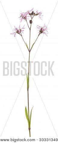 Lychnis Flos-cuculi
