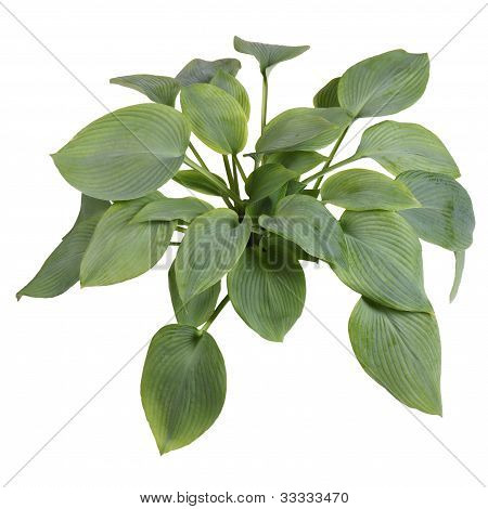 Isolated Plant Of A Blue-leaved  Hosta