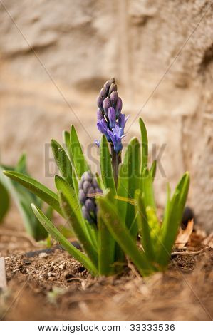 A Lone Hyacinth In Spring