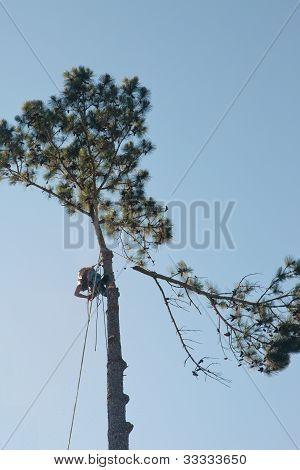 Arborist Climbs Tall Pine