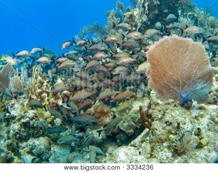 Sea Fan With School Of Freanch Grunts