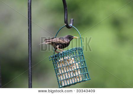 Europeon Starling