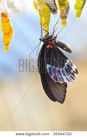 Heraclides (Papilio) anchisiades (papilionidae)