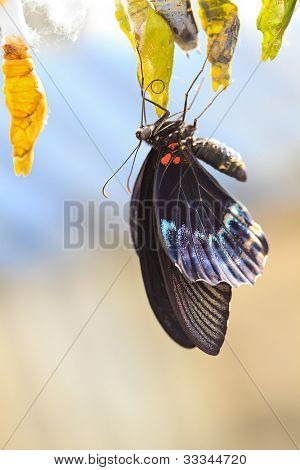 Herakleides (Papilio) Anchisiades (Papilionidae)