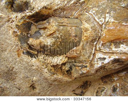 Fossilized Tooth