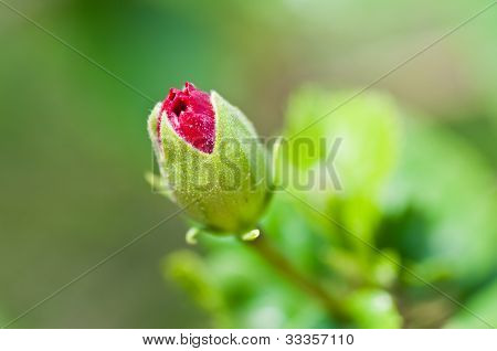 Red Hibiscus Flower bud, green stem, leaves, isolated on green out of focus background