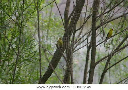 Yellow male and female finch