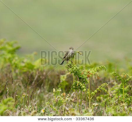 Common Skylark On Bracken