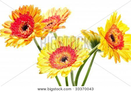 Five Orange Yellow Gerbera Flower