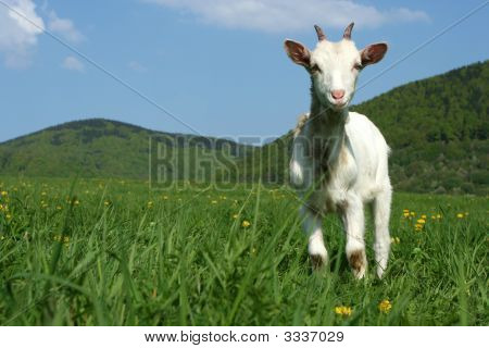 Baby Goat In Pasture