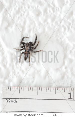 Small House Spider And Ruler