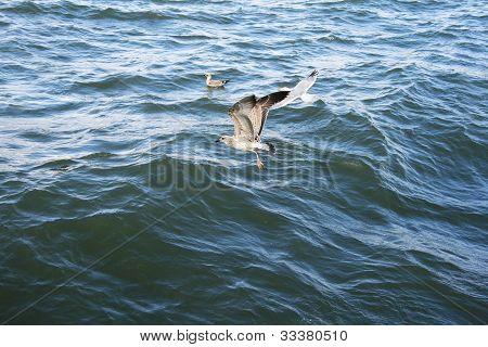 Seagulls On Lake Sevan