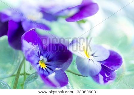 Purple Pansies Close Up