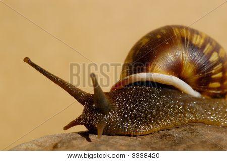 Terrestrial Snail (Anthinus Turnix Albolabiatus)