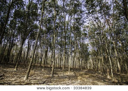 The Rubber Trees Forest.